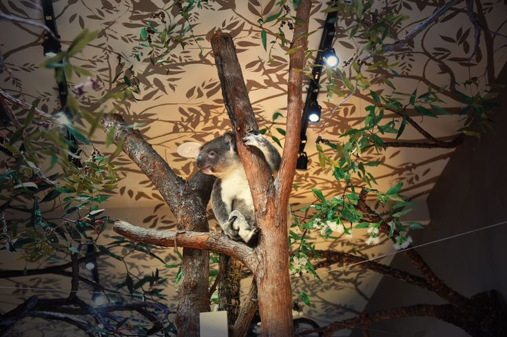 Up in the trees. Exhibition design for Koala Hospital, Port Macquarie // Design Community