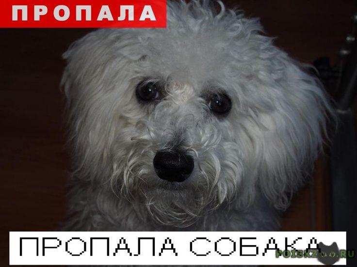 Пропала собака г.Новокузнецк http://poiskzoo.ru/board/read27878.html  POISKZOO.RU/27878 Потерялась .. небольшая белая собачка, похожая на кудрявую болонку. Особая примета – темные пятна на коже (под шерстью, на голове, пузике). Так как прошел дождь, то может быть достаточно чумазой. Кличка Динка. Мы ее очень любим. Очень пуглива: боится чужих людей и собак. Не кусается, но от страха может гавкать. На собаке красный ошейник, с обратной стороны написан контактный телефон, по которому также…