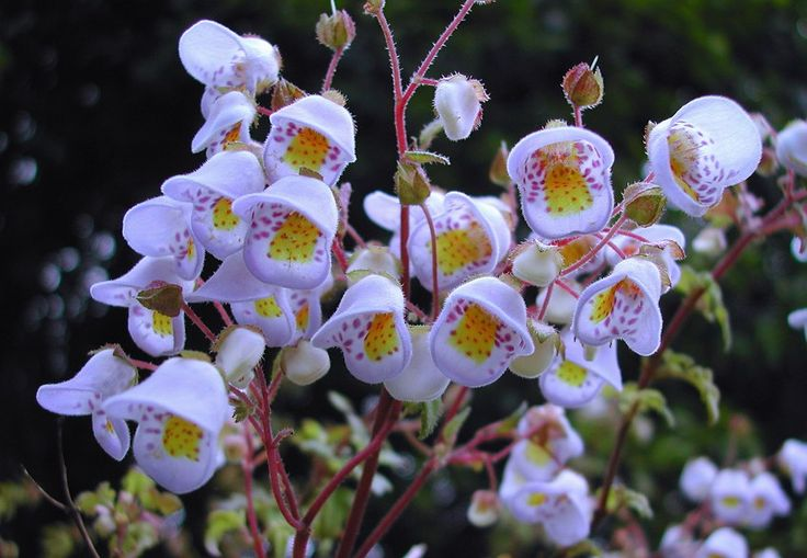 "Very Rare Flowers | Details about Extremely rare - Violet ""Teacup Flower""! - Jovellana ..."