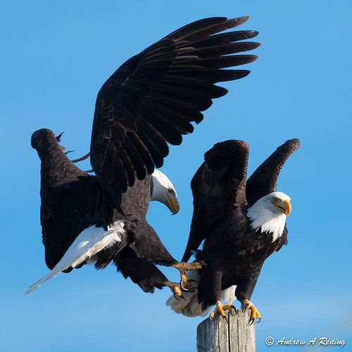 king of the perch: bald eagle forcing another eagle off a favored perch