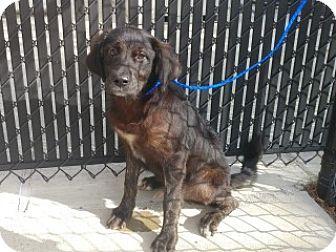 Pictures of Rocket a Labrador Retriever/Cocker Spaniel Mix for adoption in Alvin, TX who needs a loving home.