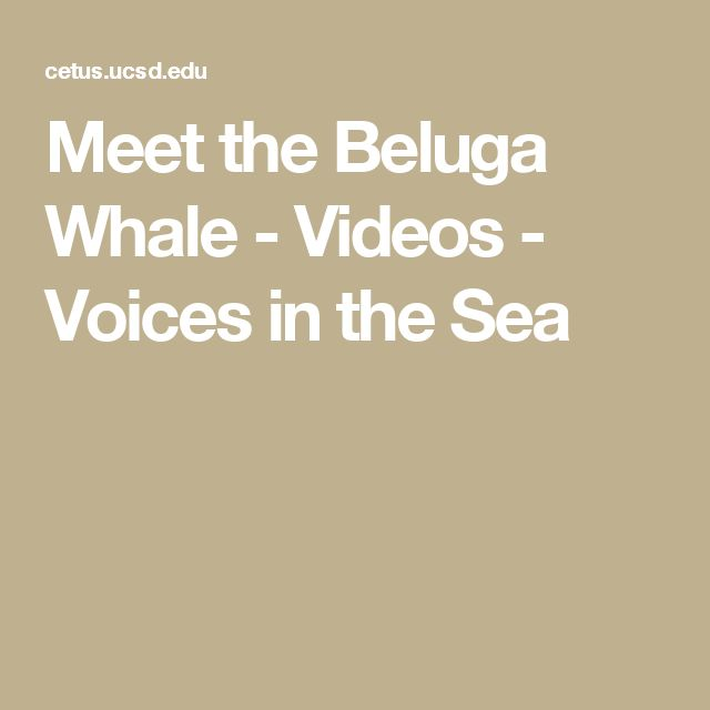 Meet the Beluga Whale - Videos - Voices in the Sea