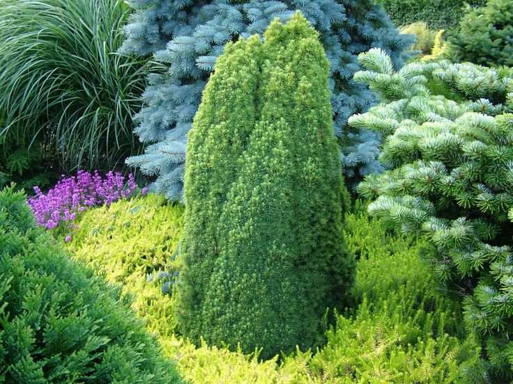dwarf conifers evergreens trees gardening tips