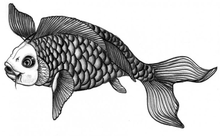 Koi Fish Drawings A Long Life - An ornamental carp (koi fish) can live for more than seventy-five years and is a symbol of a long life.
