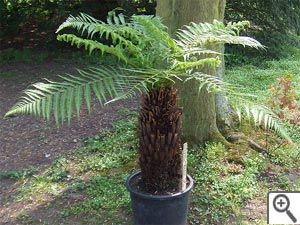 Dicksonia antartica - S'il est une plante capable de donner à votre jardin un petit air jurassique, c'est bien la fougère arborescente ! Elle apprécie l'ombre et l'humidité mais s'avère peu rustique (bref -8).