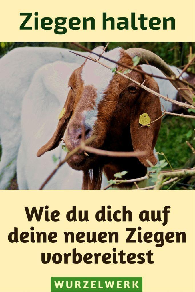Wie Du Dich Auf Deine Ersten Ziegen Vorbereitest Teil 1 Wurzelwerk Ziege Ziege Spielplatz Ziegenhaltung