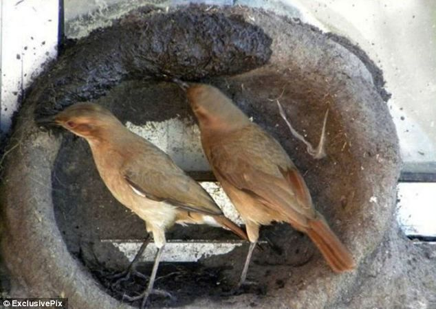 Sharing the load: The male and female work together to pick an appropriate spot for their home and to build their nest in time for breeding season. Go look at all the photos of the process! It is amazing. http://www.dailymail.co.uk/sciencetech/article-2275188/Ovenbirds-perseverance-pays-seen-setting-new-nest-series-pictures.html