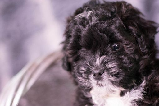Shih-Poo puppy for sale in KENT, OH  ADN-62368 on