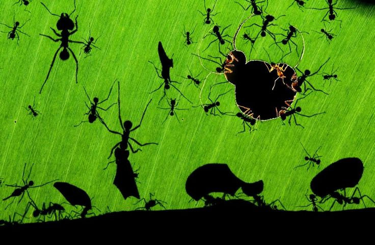 Leaf-cutter Ants - Photo: Bence Mate