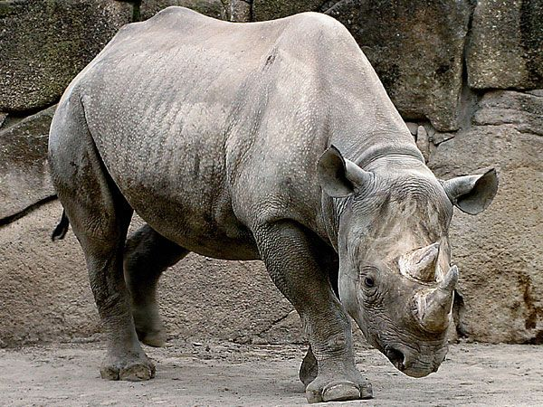 Black Rhinoceros-Endangered animals list-Our endangered