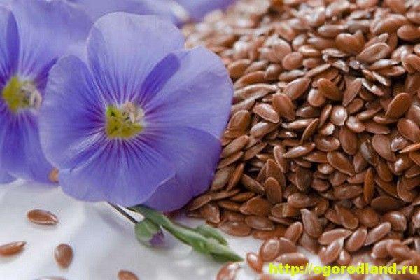 Семя льна - полезные и лечебные свойства. Противопоказания