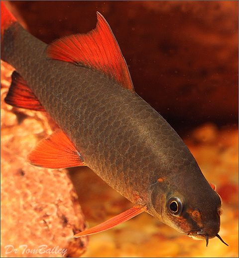 Red fin shark my obsession pinterest sharks and red for What fish are compatible with betta fish