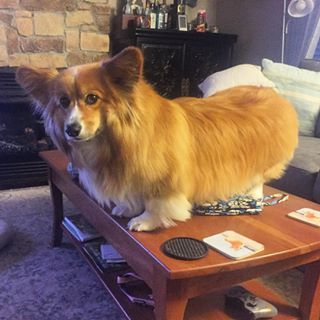 Normal dogs aren't allowed on the table. But fluffy corgis can do whatever they…