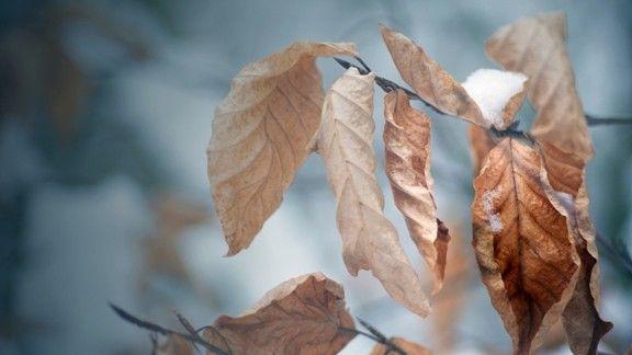 Kurumuş Yapraklar Üzerinde Kar
