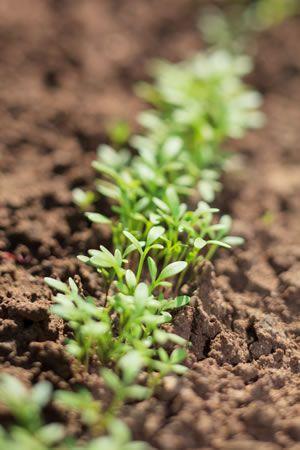 Kresse pflanzen