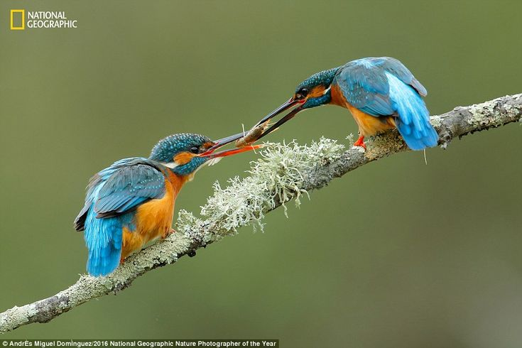 A male kingfisher hands over a present of food to his female counterpart in another pictur...