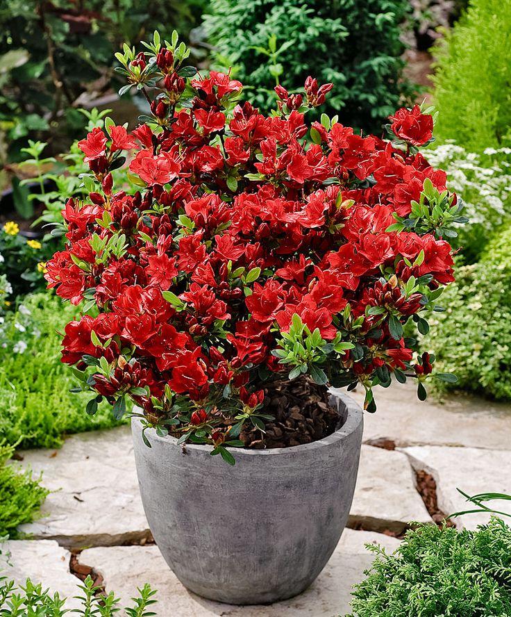 Rhododendron japonais 39 kazuko 39 arbres arbustes for Bakker fleurs