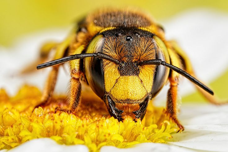 Wool Carder Bee Series 3-4 | by Dalantech