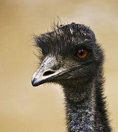"""Emu War - Wikipedia, the free encyclopedia // """"The Emu War, also known as the Great Emu War,[1] was a nuisance wildlife management operation undertaken in Australia over the latter part of 1932 to address public concern over the number of emus said to be running amok in the Campion district of Western Australia."""""""
