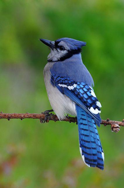 Blue jays are so pretty!