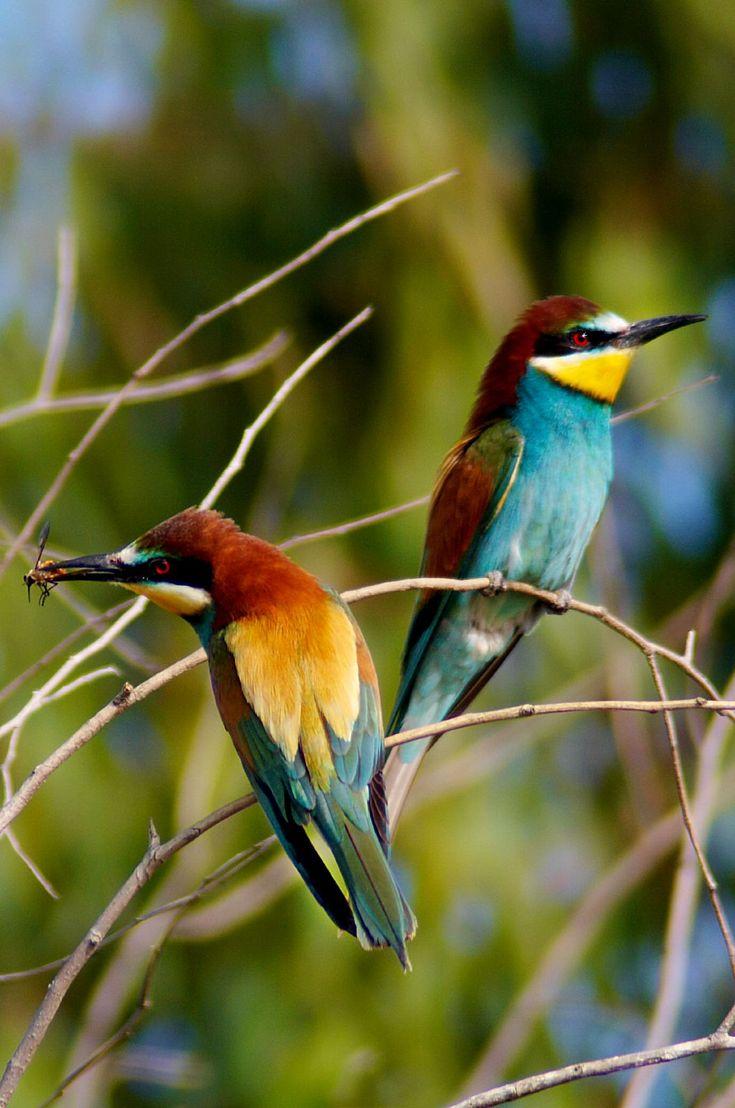 Bee-eater - Wikipedia, the free encyclopedia
