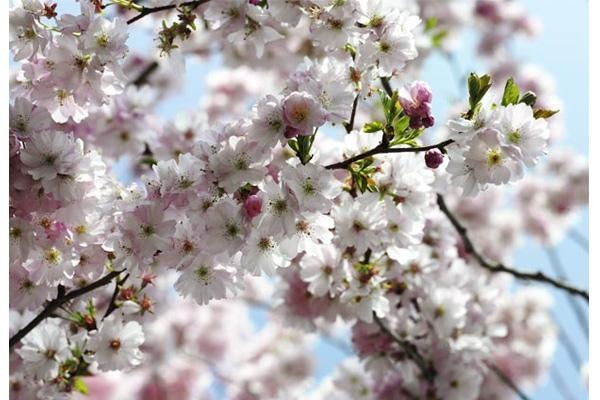 National Geographic Cherry tree