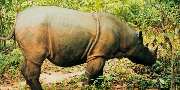 Malaysia has not seen a Sumatran rhinoceros in the wild since 2007. Now scientists have asserted that the animal is extinct in the wild!