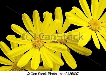 Stock photo available for sale at Can Stock Photo: Yellow Cape Daisies Isolated On Black Background - stock image, images, royalty free photo, stock photos, stock photograph, stock photographs, picture, pictures, graphic, graphics