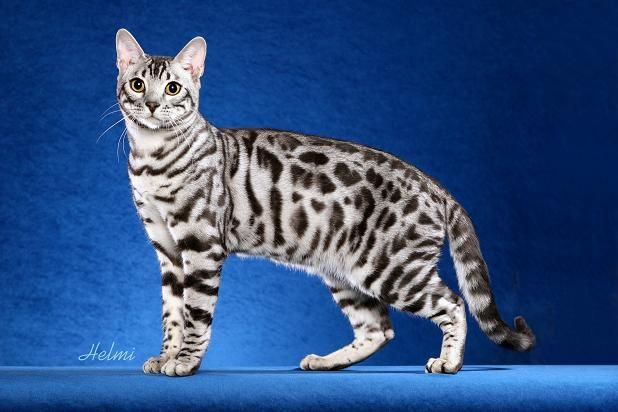 Victorybengals Steely of Rowan - Black silver spotted ...