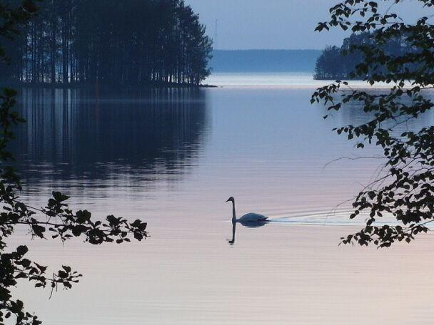 Laulujoutsen on vuoden lintu 2014 Pesi ensimmäisen kerran Taipalsaarella, Saimaalla tänä vuonna - 5 poikasta