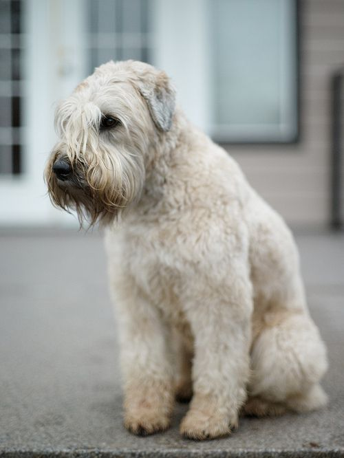 Soft Coated Wheaten Terrier - Prized for its coat, which is soft, silky, with a gentle wave, and of warm wheaten color. Description from pinterest.com. I searched for this on bing.com/images