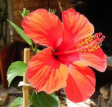 Hibiscus (du grec ἱϐίσκος / hibískos, signifiant guimauve) est un genre de plantes à fleurs annuelles ou vivaces qui comporte plus de 30 000 variétés. L'hibiscus fait partie de la famille des malvacées (malvaceae). Ce sont des plantes connues depuis la haute Antiquité : elles étaient cultivées en Égypte et en Asie du sud-est pour leur caractère ornemental.