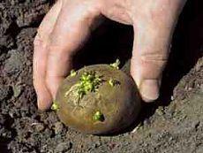 Лучшая посадка картофеля - ростками вниз..