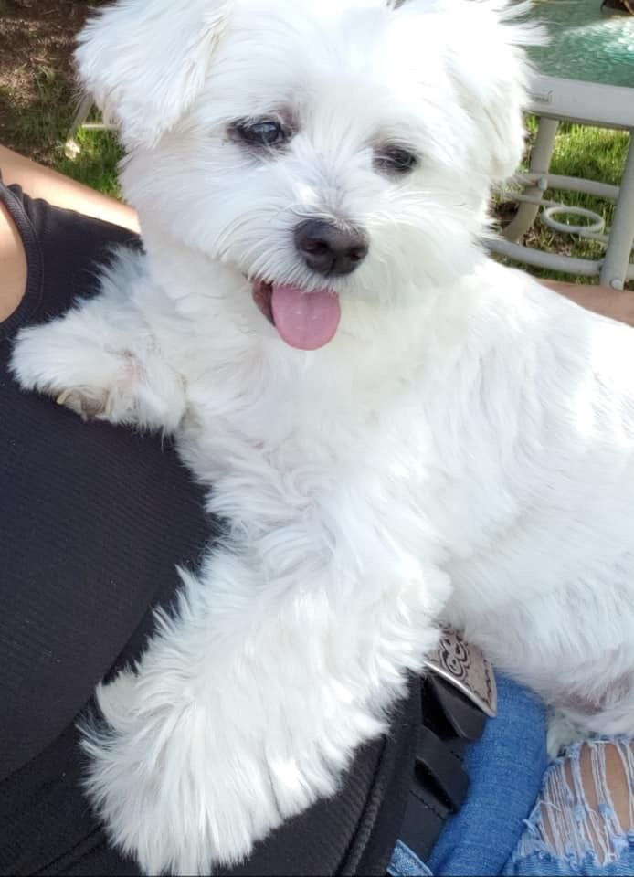 Adorable Maltese Maltese Maltese Puppy