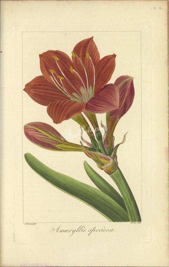 Flowers 33501 062 Amaryllis Speciosa Vintage Printable Etsy Amaryllis Etsy Printables Vintage Pictures