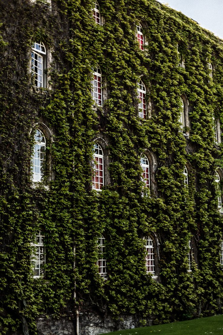 jonathancozzo: Ivy wall in Cambridge | pinned from sheslikeaghost