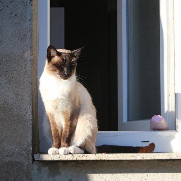 Cuidados dos gatos siameses. Se decidiu adotar um filhote de gato siamês ou já tem um, deve saber que se trata de um gato com vida prolongada, forte e normalmente muito saudável que além disso...