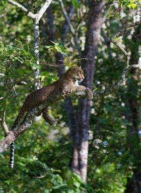 The Golden princess | Leopard - stock photo