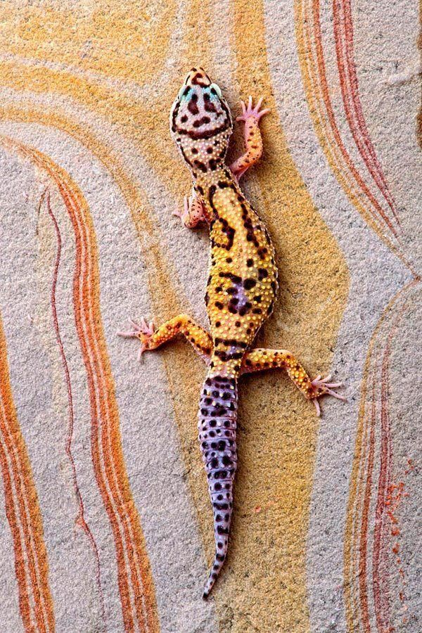 Leopard Gecko on Rainbow Slate by Bob Jensen