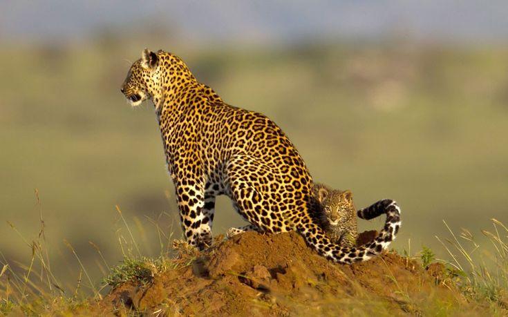 Zawadi the leopard, aged 16, with new cub, Maasai Mara, Kenya