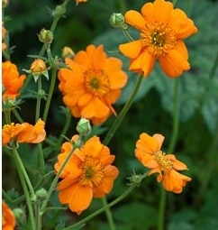 Geum coccineum 'Prinses Juliana'