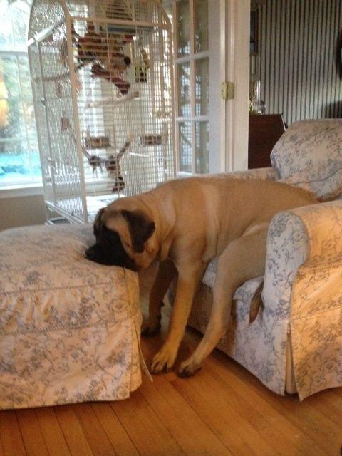 Mastiff funny dog