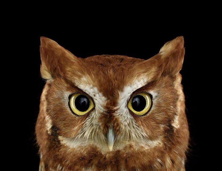SOUND: https://www.ruspeach.com/en/news/13910/     Сова – одна из самых загадочных и харизматичных хищных птиц на планете. Уши совы в пятьдесят раз более чувствительные, чем уши человека. Уши совы расположены асимметрично. Они не видимы. То, что мы называем ушами на голове совы, на самом деле не уши, а просто перья. Совы способны съесть животное, которое больше их по размеру: молодого кабана, лису или молодого олененка.      Owl is one of the most mysterious and charismatic b
