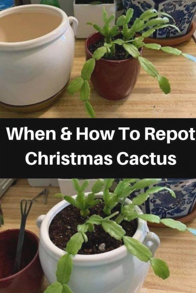 Repotting A Christmas Cactus Isn T A Difficult Task However You Might Need To Be Gentle When Trans In 2020 Christmas Cactus Care Cactus Care Christmas Cactus Plant