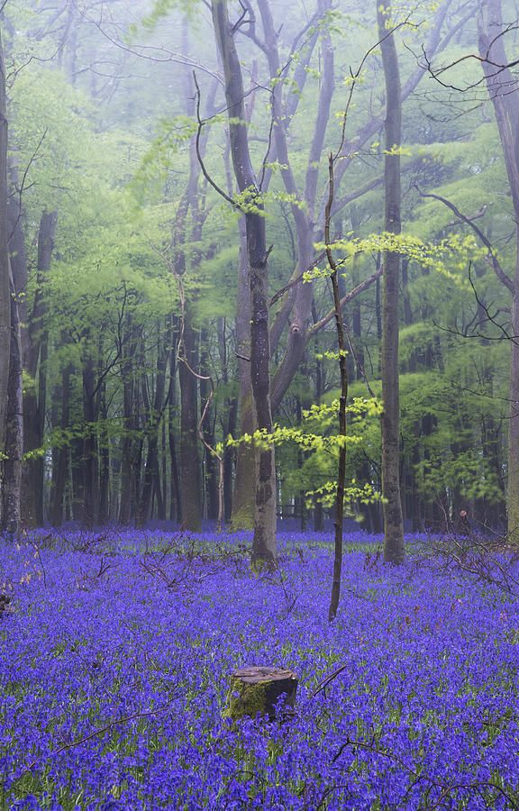 Vibrant Bluebell Carpet Spring Forest Foggy Landscape Photograph