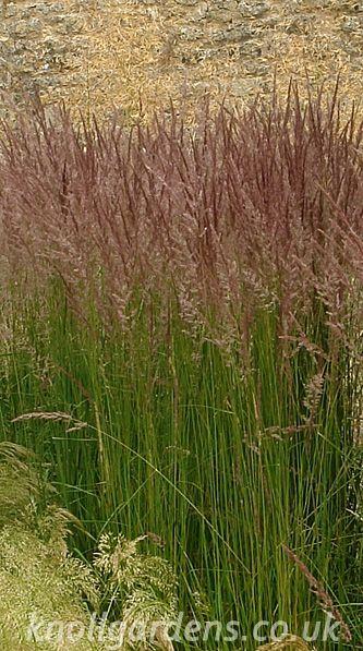 Calamagrostis Karl Foerster | Knoll Gardens | Ornamental Grasses and Flowering Perennials