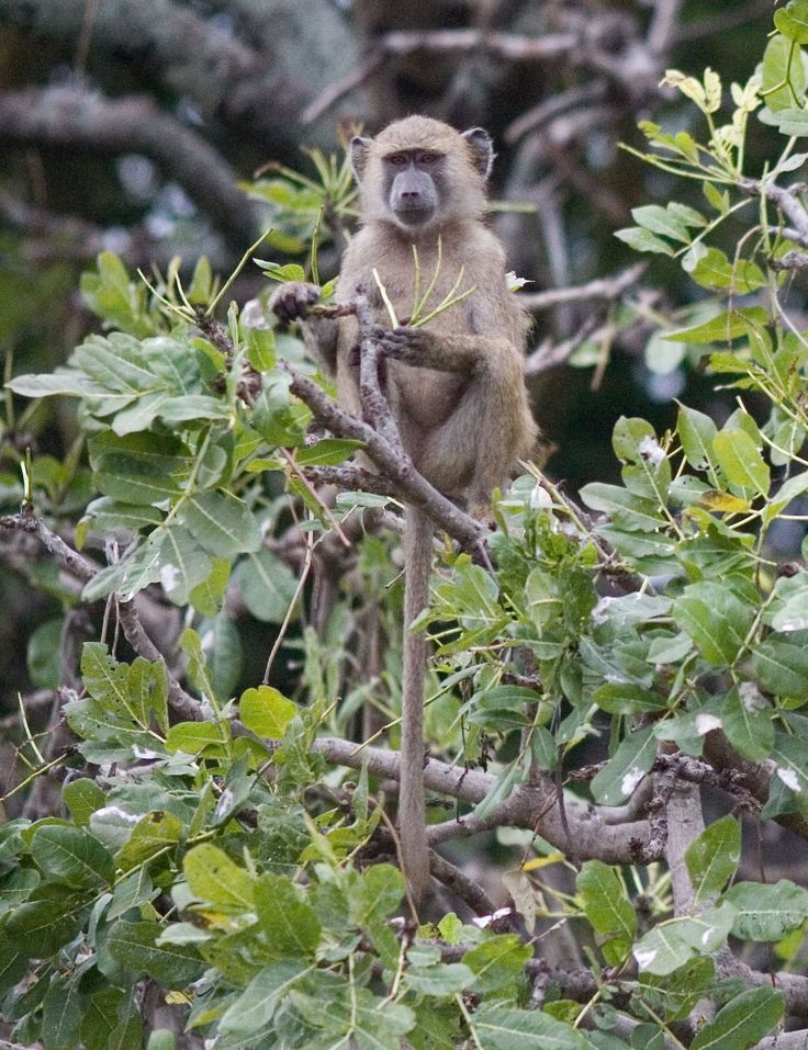 Hardly ever seen alone, the Olive Baboon usually travel in groups of 15 to 150. These groups have a complex communications stucture comprised of both verbal and non-verbal cues.  #kenya #baboon #africa https://www.austinadventures.com/destinations/africa/kenya/