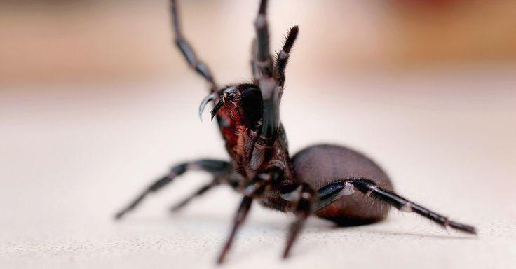 Sydney Funnel-Web Spider (Atrax Robustus) https://www.facebook.com/BugIdentification/