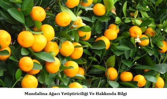 Mandalina Ağacı Yetiştiriciliği Ve Hakkında Bilgi