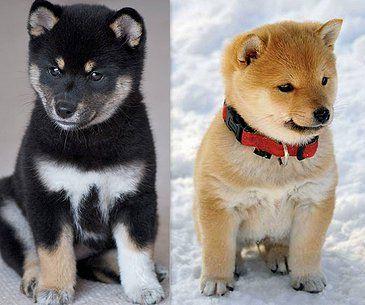 shiba inu breeders, shiba inu dog breeders